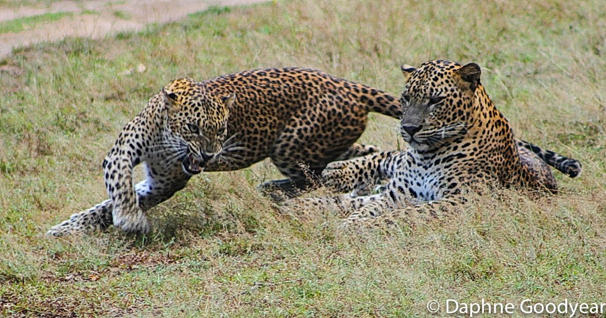 Mating Leopard – a Tale of Ferocious Courtship!