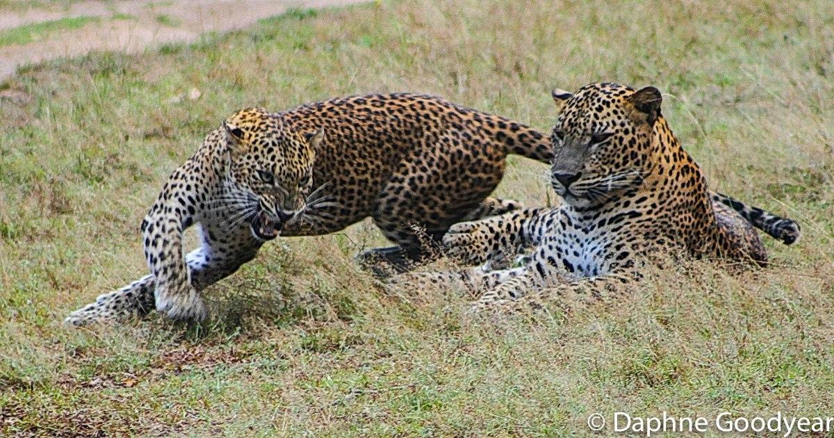 Mating Leopard – a Tale of FerociousCourtship!