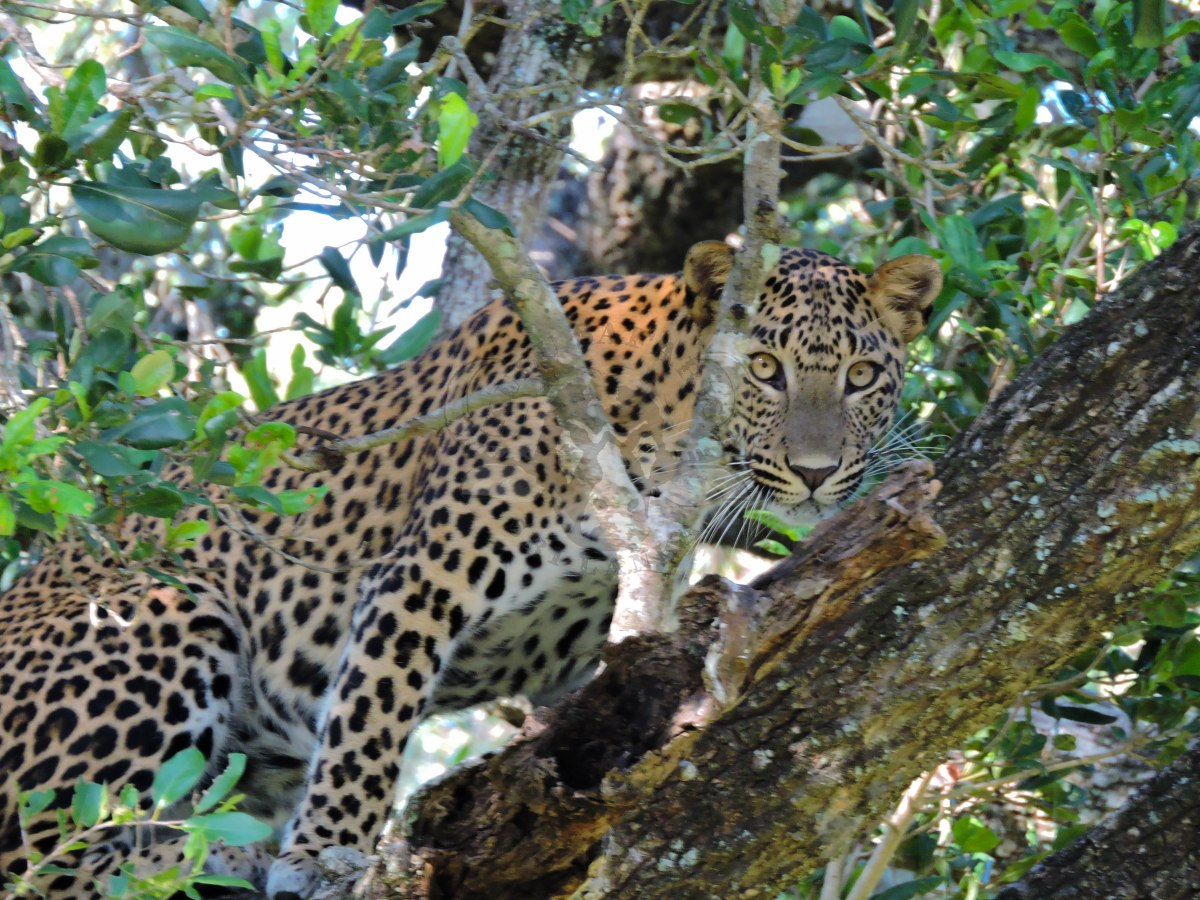 The Thrill of a Leopard Sighting!