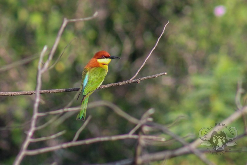 kulu-ch-bee-eater-feb-3-wm-br