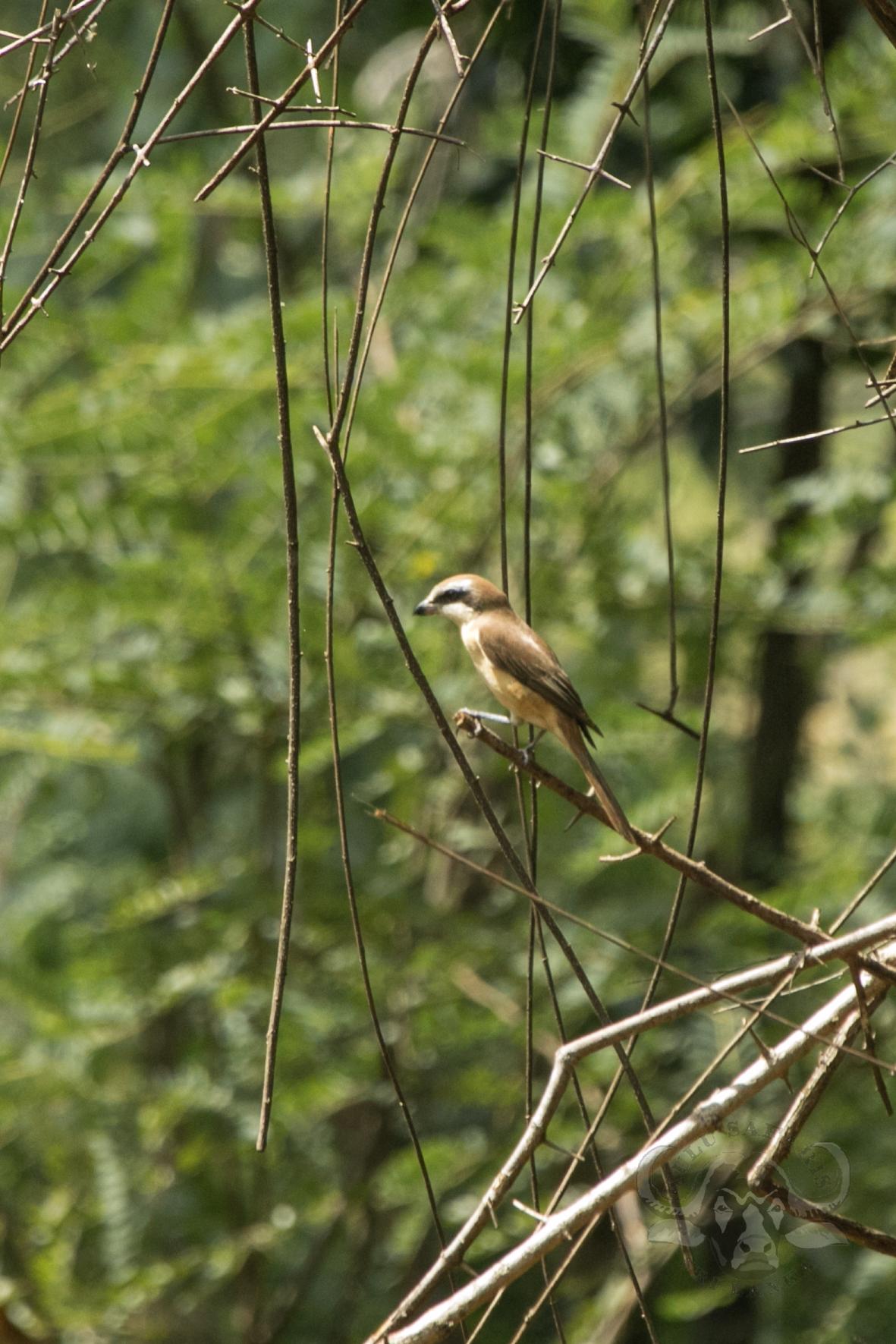 kulu-camp-birds-jan17-sr-wm-29