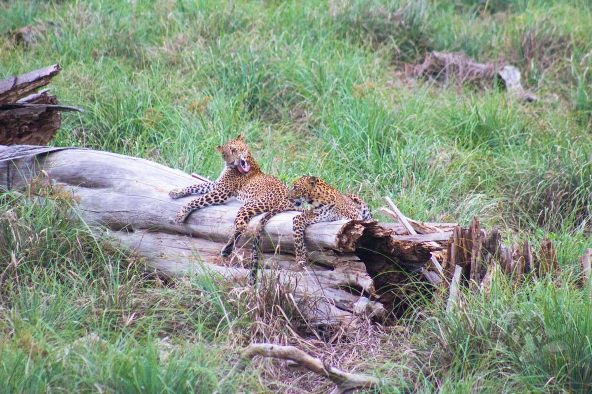 2 Leopard Cubs, a Log, and An Afternoon in the Presence of the Heirs of the Jungle