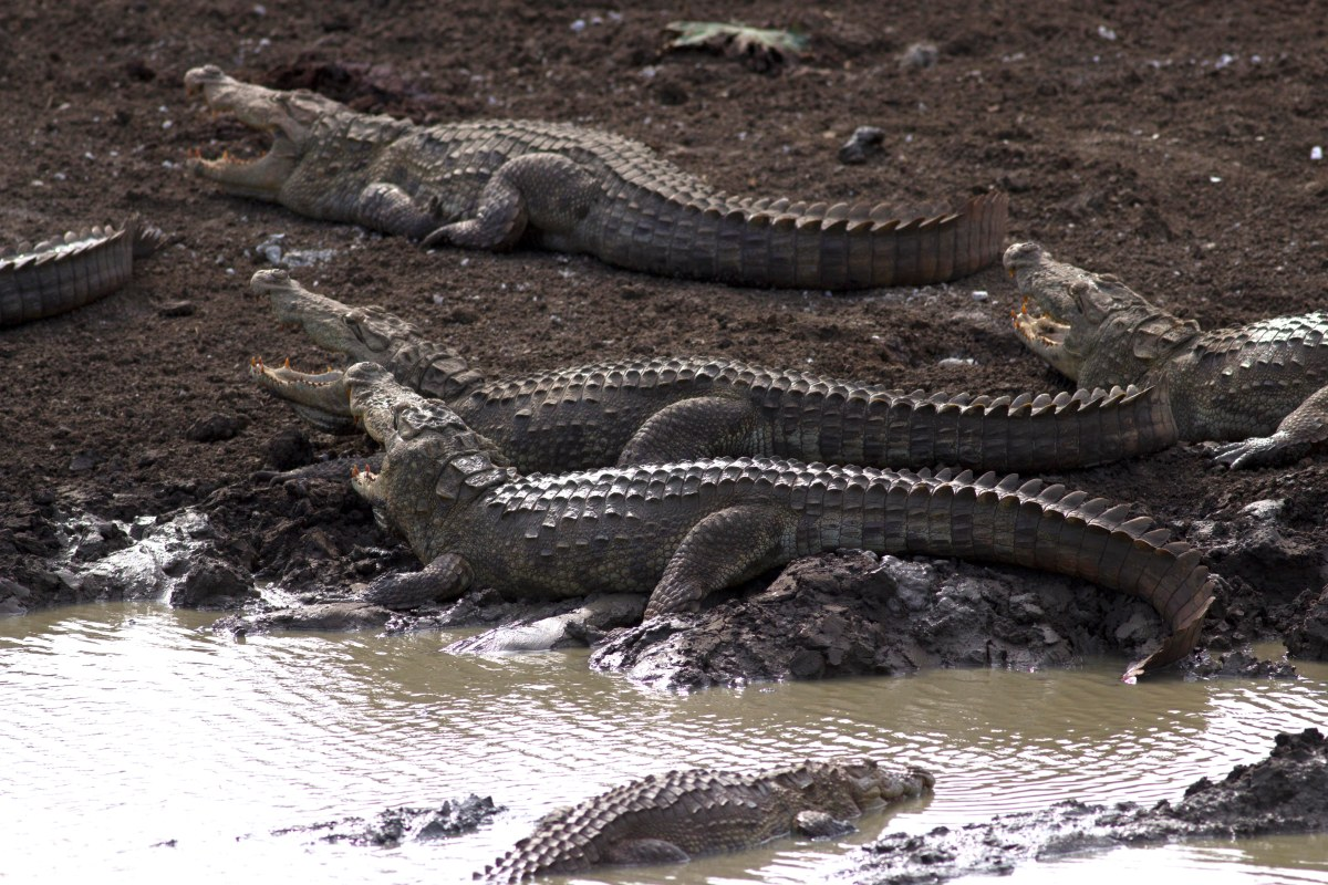 Sri Lanka's Crocodiles: insights to Marsh and Saltwater Crocodiles