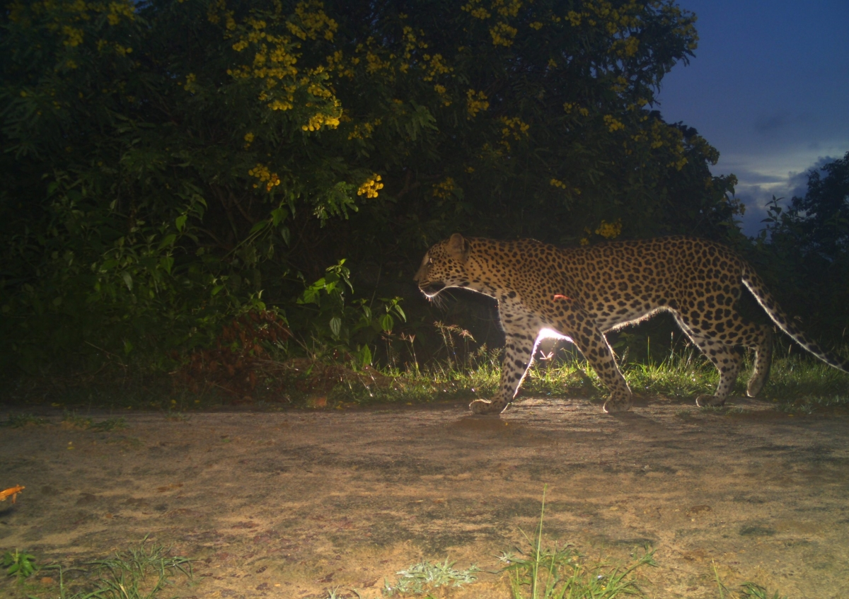 Camera Traps Disclose High Density of Leopard in Wilpattu National Park
