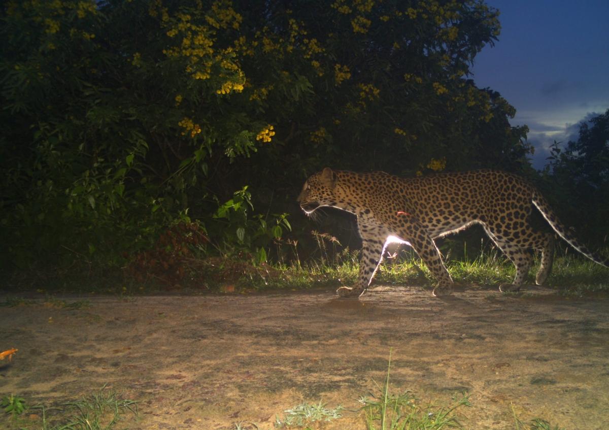 Camera Traps Disclose High Density of Leopard in Wilpattu NationalPark
